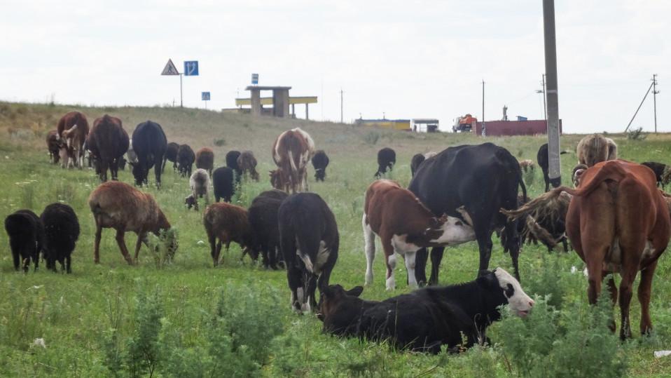 Pikkukylän eläimet laiduntavat tien vieressä.