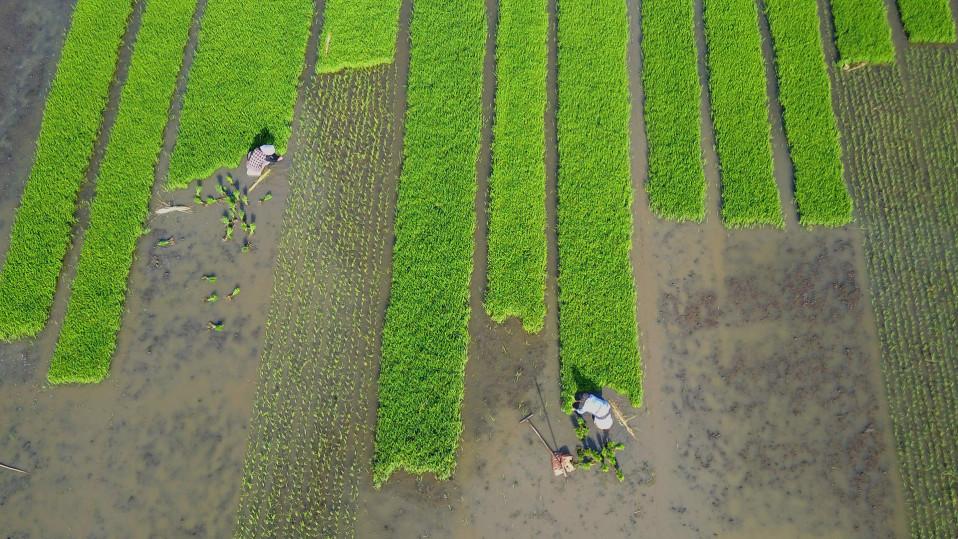 Ilmakuva kyläläisistä, jotka istuttavat riisiä pelloilla Jiangsun provinssissa Kiinassa.