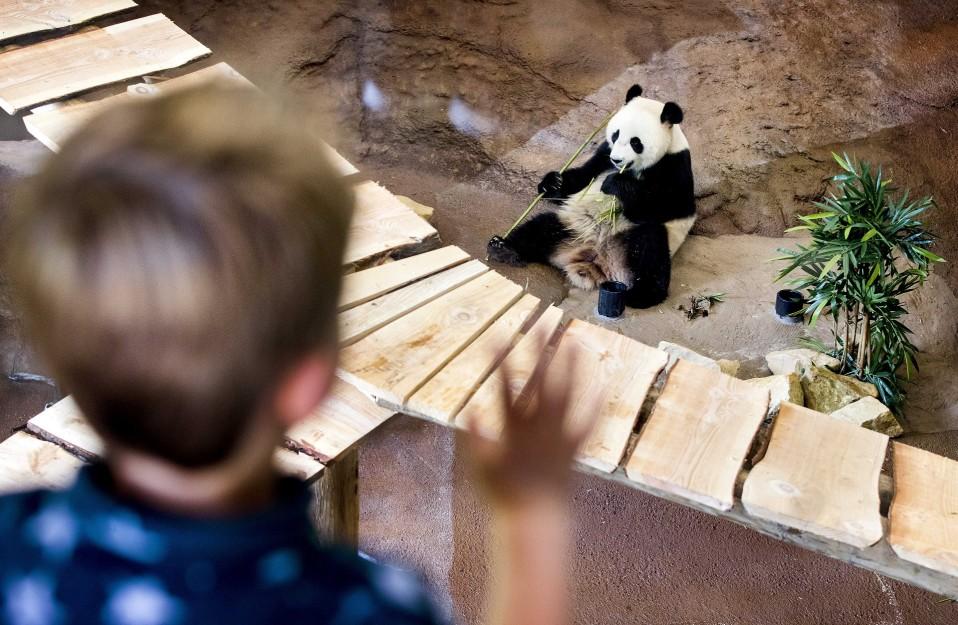 Poika katselee pandaa, joka istuu ja syö.