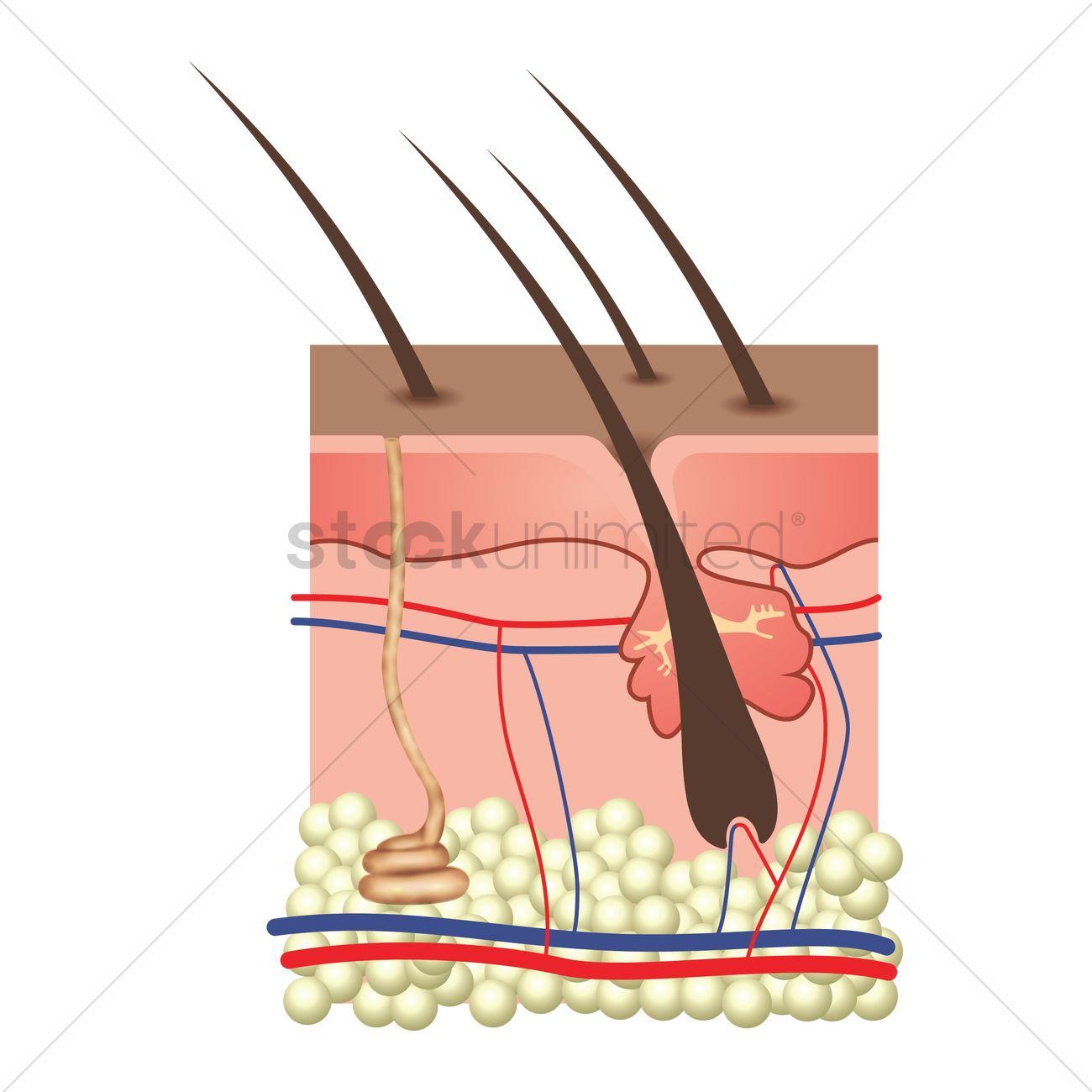 Anatomy Of Skin Layers Vector Image