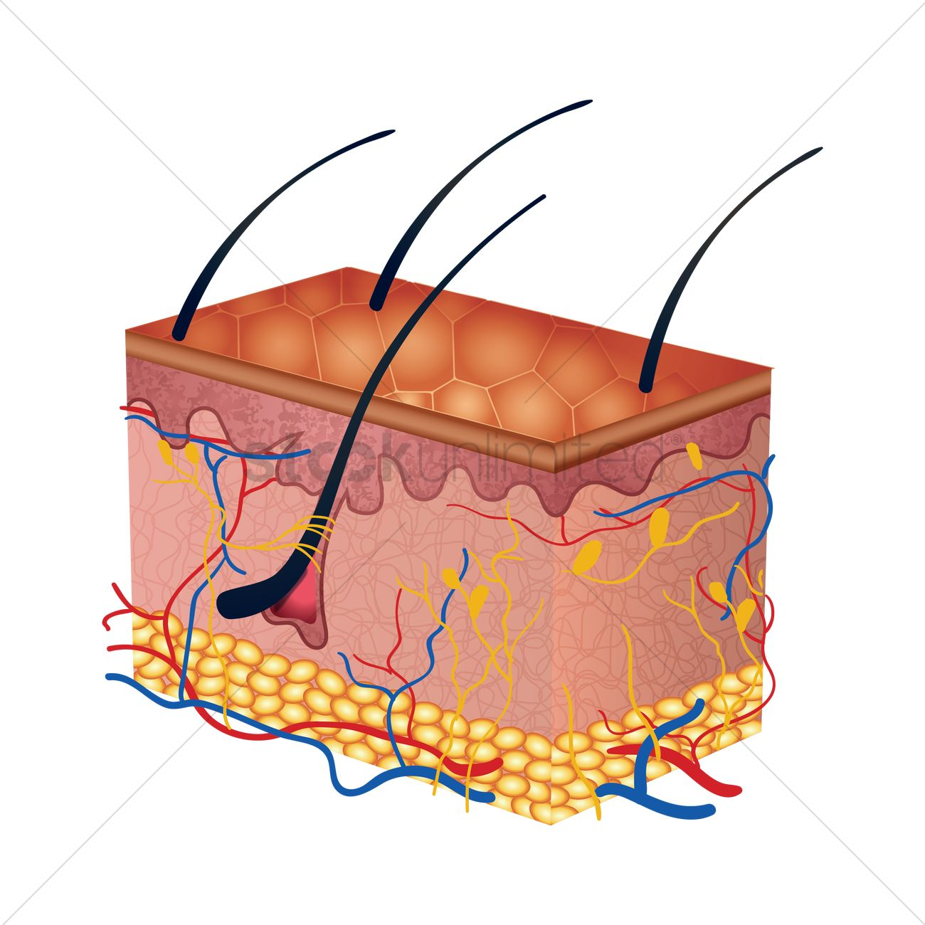 Cross Section Of Human Skin Layers Vector Image