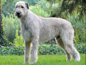 https://i1.wp.com/images.champdogs.net/breeds/irish-wolfhound.jpg
