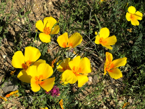 There were Mexican poppies in bloom everywhere.