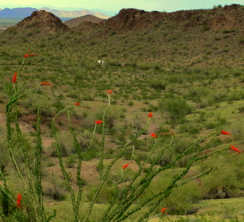 Ocotillo in bloom at Shadow Mountain.