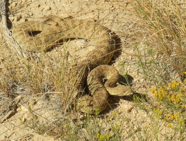 For whatever reason, this rattlesnake let me walk within a few feet of him without rattling.  I'd never kill one far from camp, but in camp I would be willing to.
