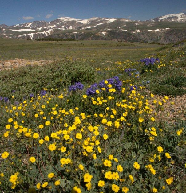 bear-yellow-purple-tundra