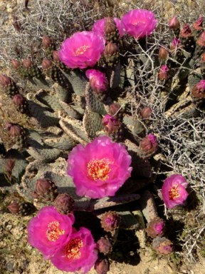 Bloom-Cactus