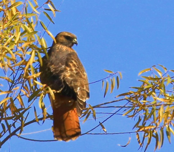 crns-red-hawk