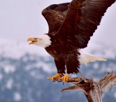 Eagle-Flap
