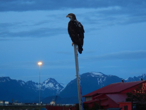at the end of the lagoon is a fish cleaning station with a dumpster for the scraps. There were hundreds of sea fulls there all the time and also lots of bald eagles. I took a picture of this immature bald eagle waiting for scraps after i took those above--again, at midnight.