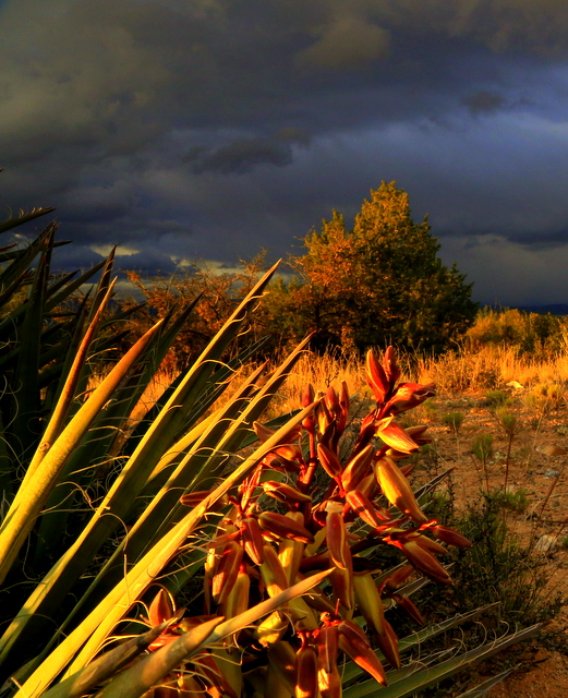 I was at Cottonwood, Az when a storm blew in and I always look at storms as a great opportunity for exceptional photos.  I loved the dark moody sky but I knew it wasn't strong enough by itself for a great shot; it needed a good foreground.  The desert doesn't offer much except I had this Yucca in bloom, so it was drafted. To get this shot I had to lay down on my side and get very close to the Yucca to make it large enough to contribute.