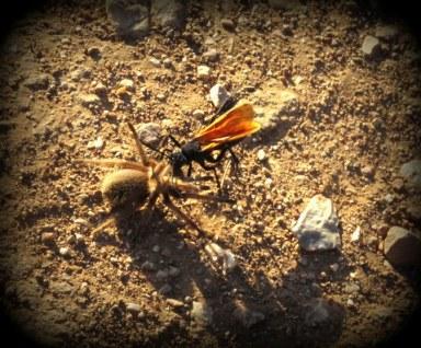 Prescott_Tarantula-Wasp-001