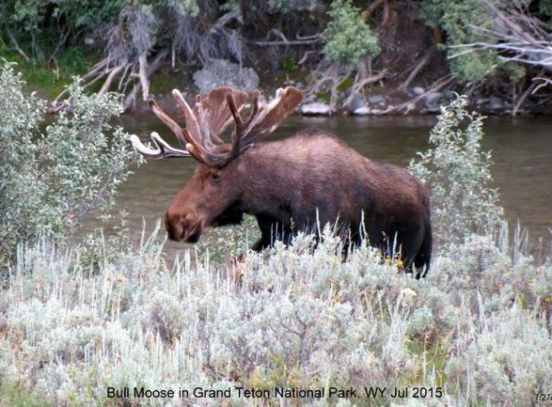prius-moose