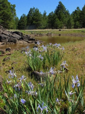 Williams_Camp-Pond-Fowers