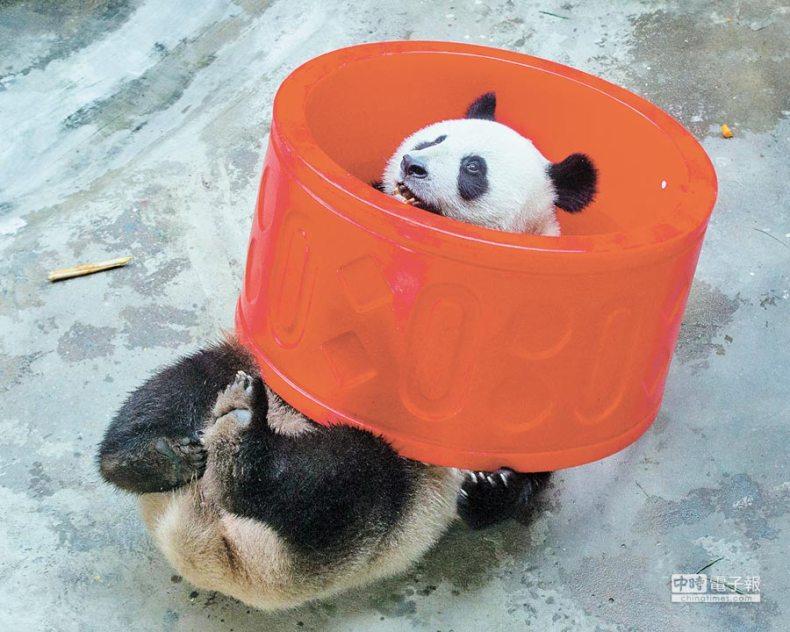 南京紅山森林動物園,大貓熊在玩耍。(新華社資料照片)