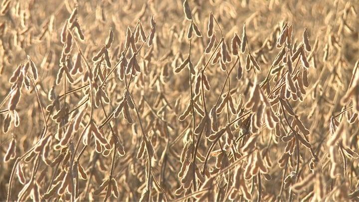 El ataque de plagas será hostil para el cultivo de soja