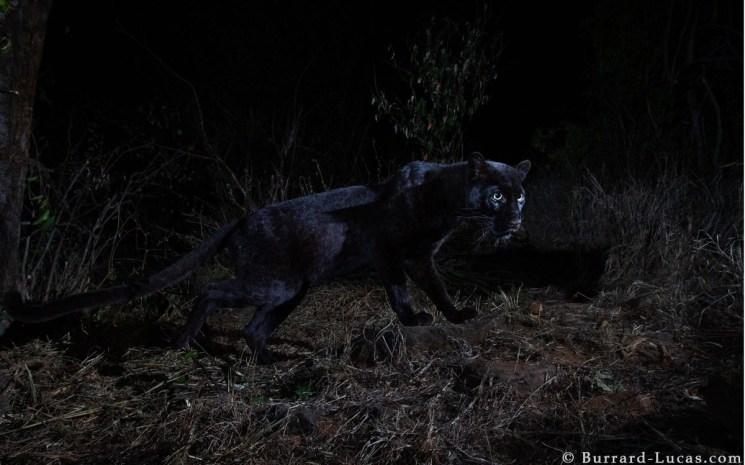 Una de las fotos del leopardo negro. /Will Burrard-Lucas