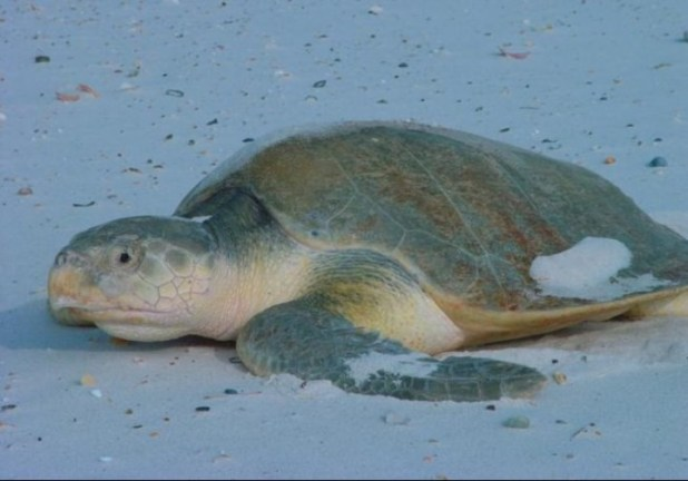 Un ejemplar de tortuga lora o golfina. Con la decisión de Trump está en peligro.
