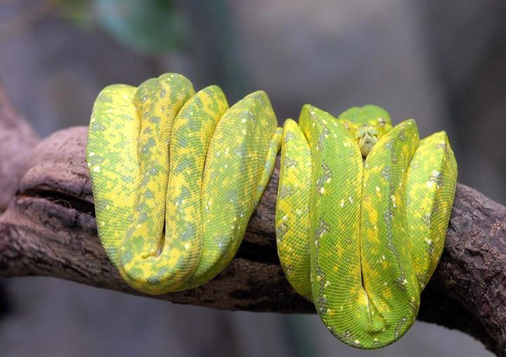 A green tree python (Morelia viridis) curled up on a branch (EFE).