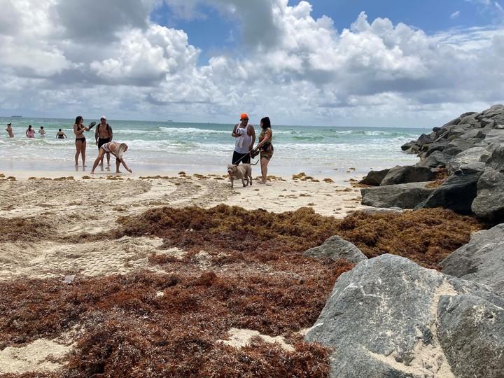 Great sargassum saturation in Miami Beach.  Photo: EFE
