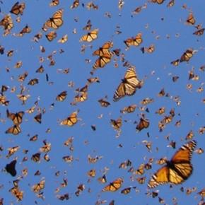 Butterflies that fly 14,000 km, cross the Sahara and reach Europe