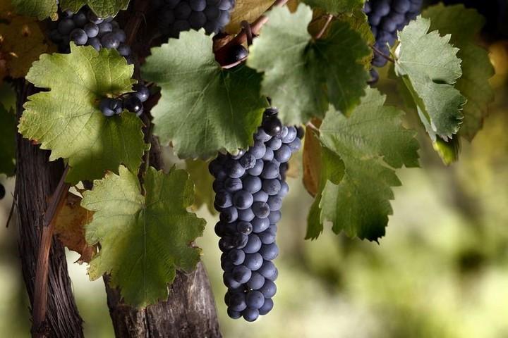 Bonarda grape clusters.