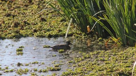 """Biodiversidad. La laguna, uno de las seis """"comunidades"""" que se pueden ver en el Parque. Las otras son el juncal, el matorral ribereño, el sauzal, el ceibal, el pajonal y la de la vegetación flotante. / Gentileza Municipalidad de San Isidro"""