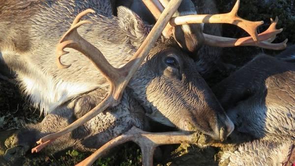 Más de 300 renos murieron en Noruega, alcanzados por un rayo, (AP)