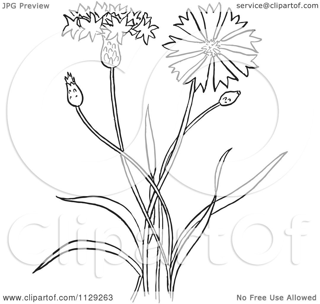 Cartoon Clipart Of An Outlined Outlined Bachelors Buttons Flower Plant