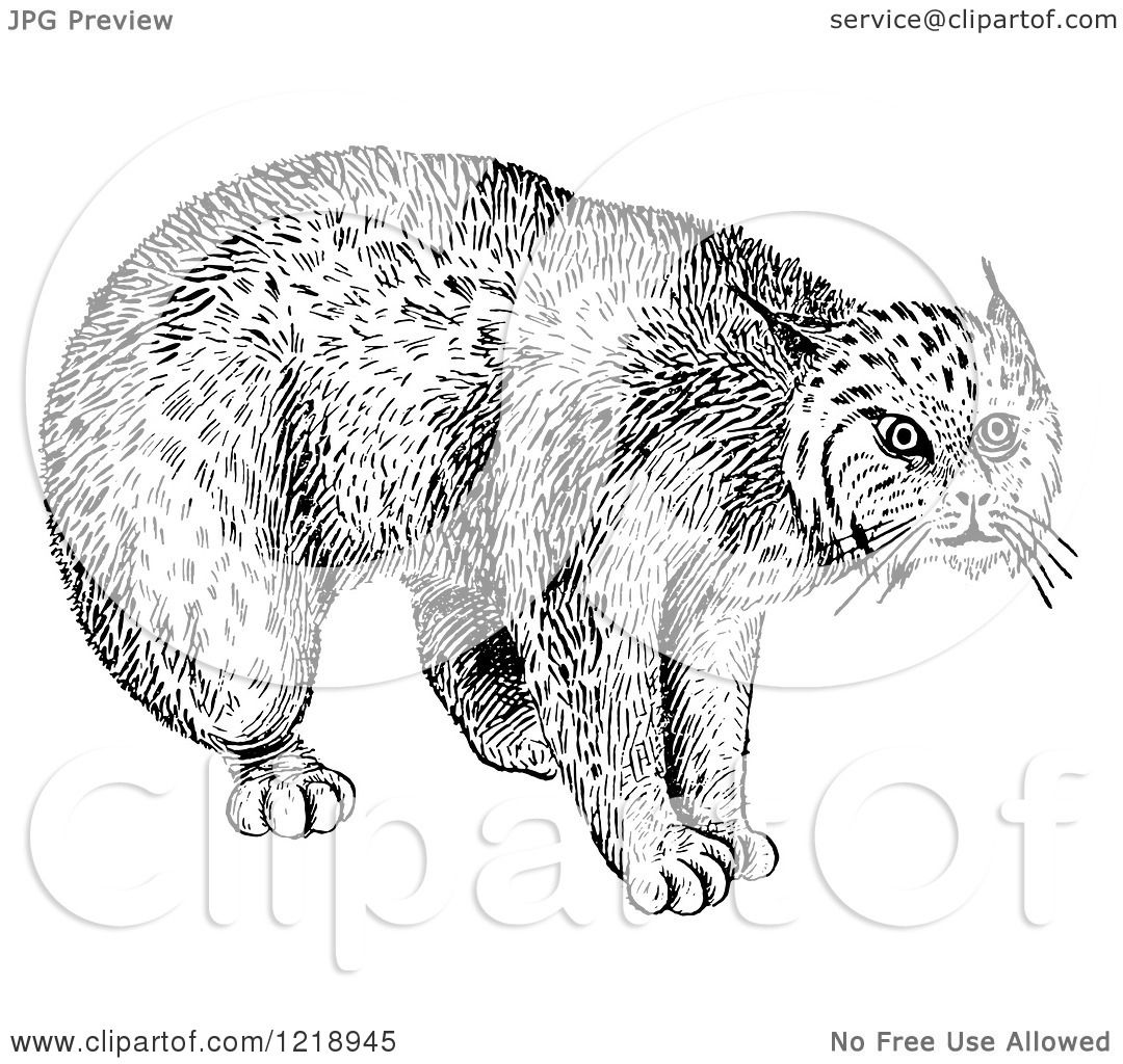 Clipart Of A Black And White Bobcat