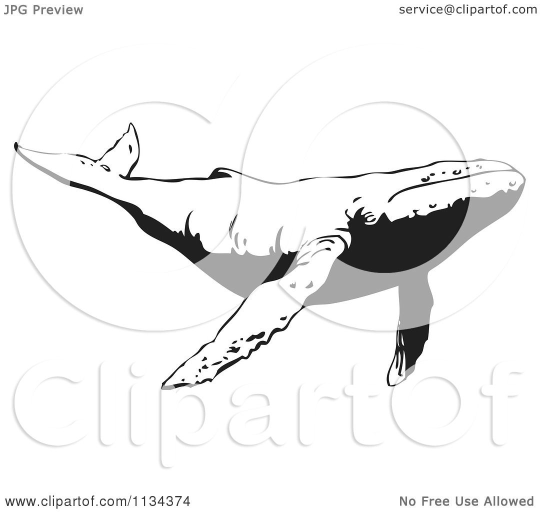 Clipart Of A Black And White Humpback Whale