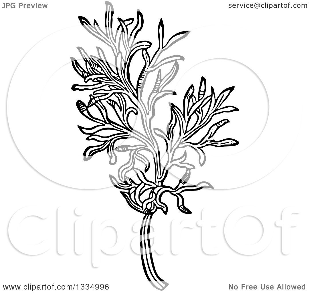 Clipart Of A Black And White Woodcut Herbal Medicinal