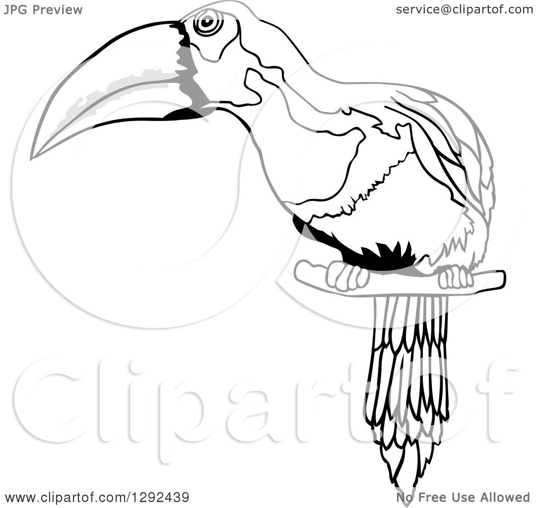 Clipart Of A Grayscale Sketched Toucan Perched