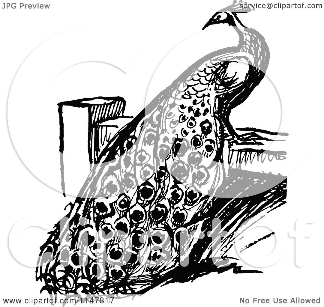 Clipart Of A Retro Vintage Black And White Peacock On A