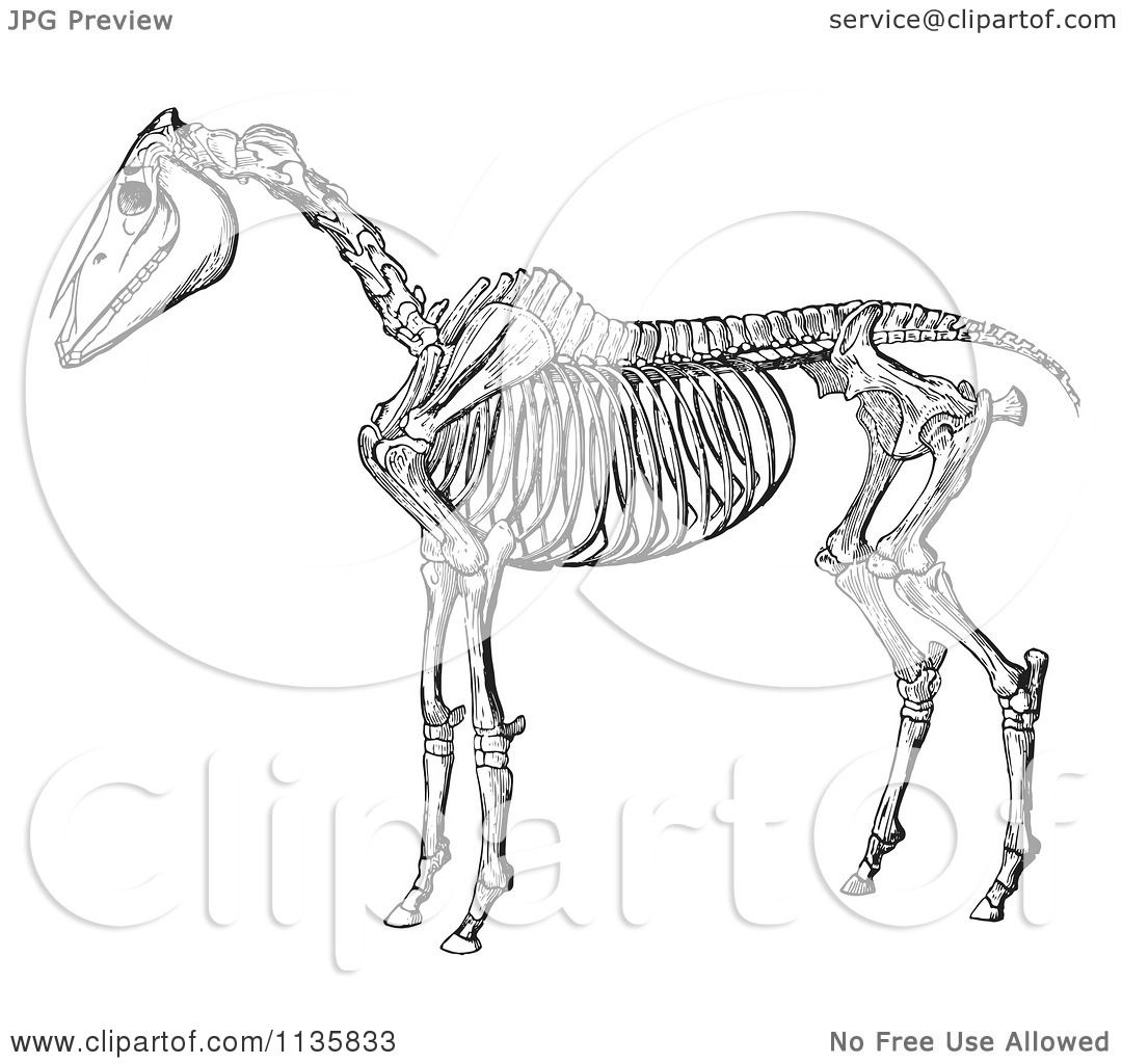 Clipart Of A Retro Vintage Horse Anatomy Of The Skeleton