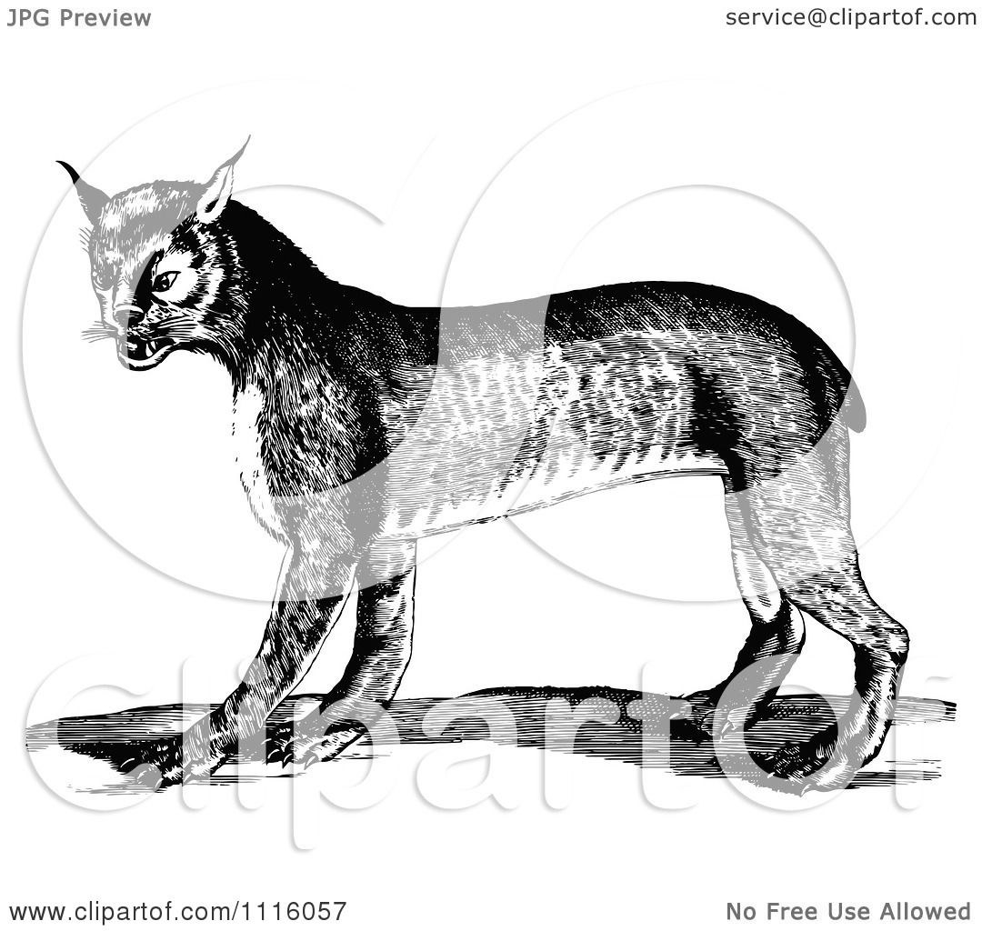 Clipart Retro Vintage Black And White Bobcat