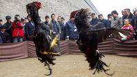 Demi Tarik Turis, Kota di China Jual Aksi Adu Ayam