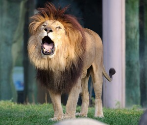 Ncbi Rofl Lions At The Zoo Not Roaring Enough What To Do Discover Magazine