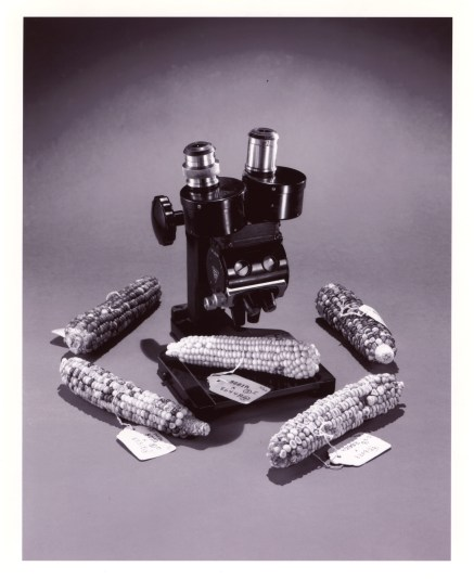 Corn specimens that were used in her research