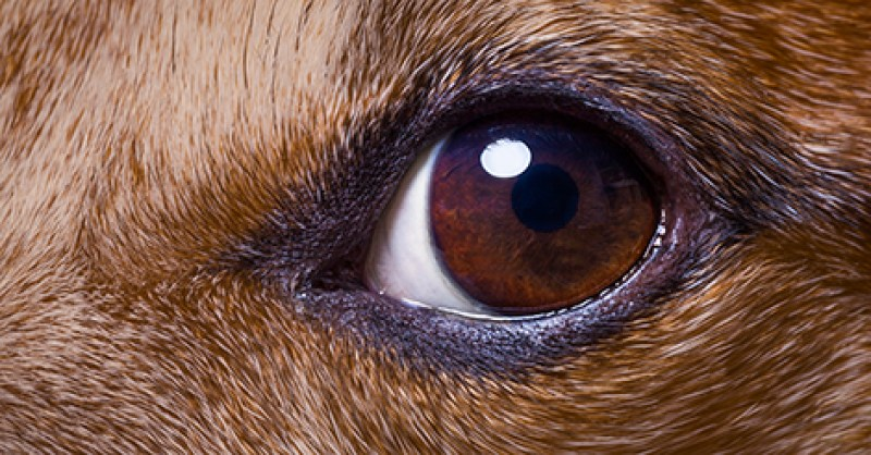 Dog Eye Care Symptoms To Look For