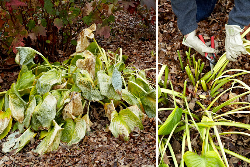 Fall-cleanup-hosta-collage: Avoid smothering spring growth by removing large hosta leaves in fall.