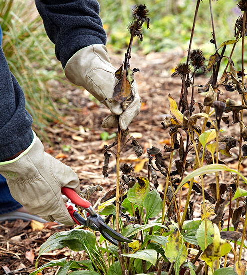 Fall-cleanup-seedheads: Prevent coneflower from taking over by cutting off spent blooms.