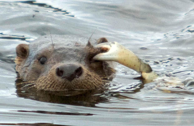 Eat Otter Sea What Does