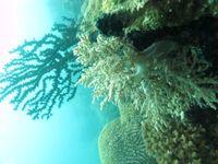 Keindahan bawah laut Kep. Kangean