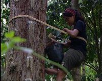 mengumpulkan kristal getah damar, petualang putri rela memanjat pohon damar