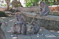 Kawanan Monyet di Pelataran Pura