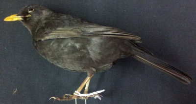 Blackbird (male); 1/NZ/700