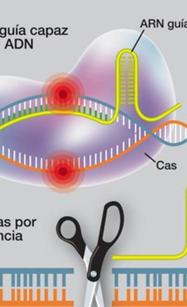 Así funciona CRISPR, la herramienta de edición de ADN