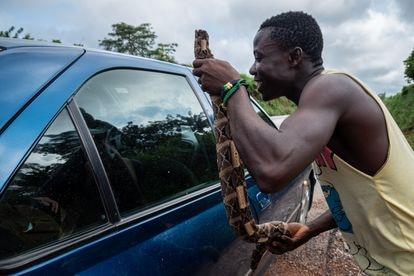 Un hombre ofrece carne de serpiente a un automovilista que pasa por una carretera en Costa de Marfil.