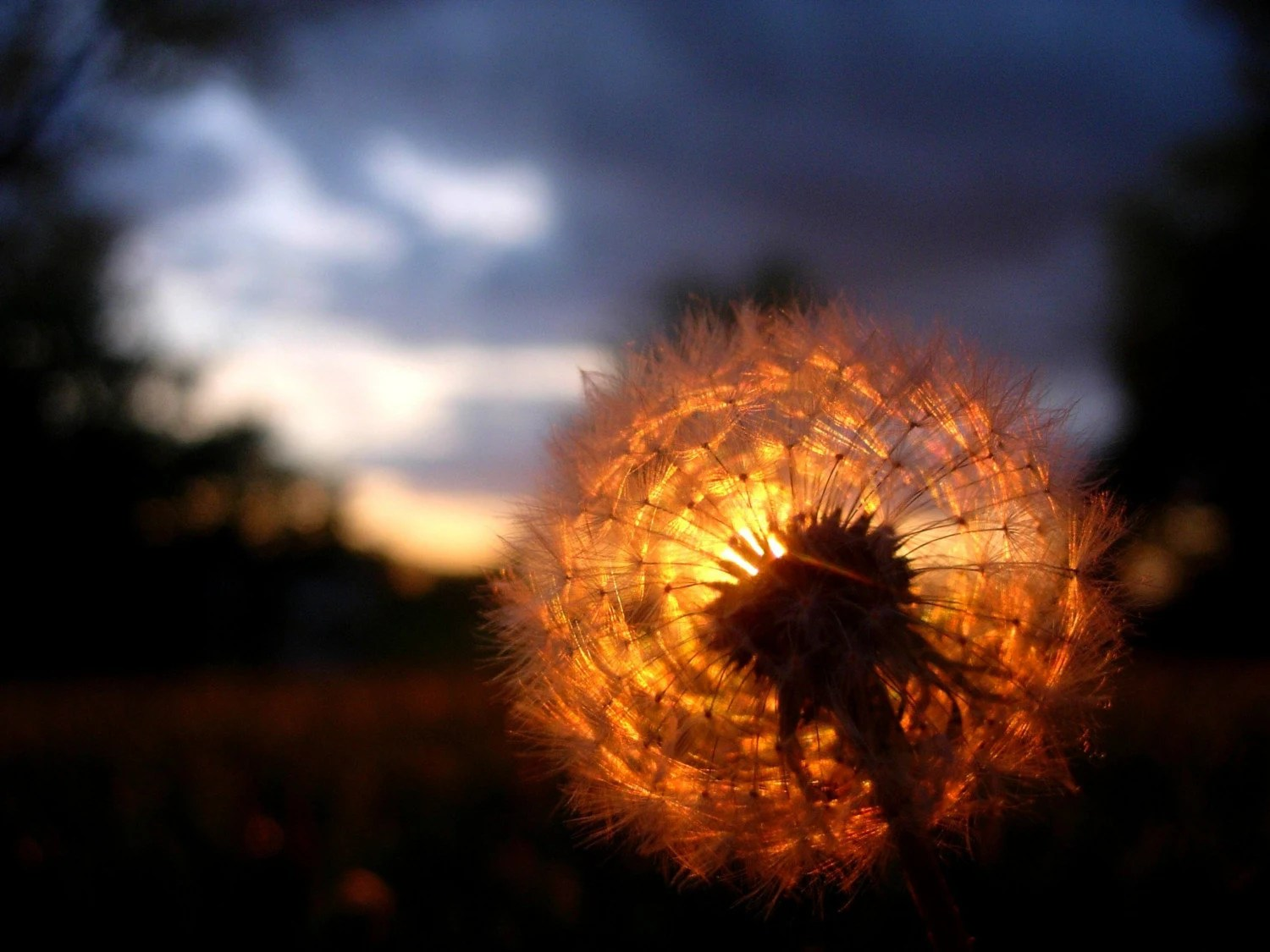 Sunset/Dandelion